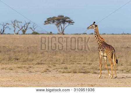 One Masai giraffe walking through the dusty grasslands of Amboseli National Park.