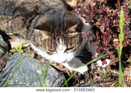 Portrait Of Cat. A Cute Cat Named Miri On A Beautiful Summer Day In The Garden Between The Plants Is