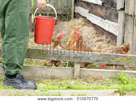 The Farmer Is Holding A Red Plastic Bucket In His Hand And Standing Near The Aviary With Chickens (g
