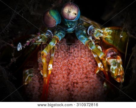 A Shot Of A Peacock Mantis Shrimp With Eggs And High Detail With Colours