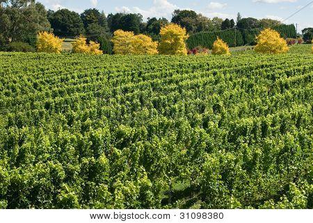 Vineyard Scene