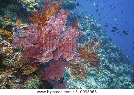 Coral Reef In South Pacific North Sulawesi