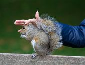 Cute tame Eastern gray squirrel, sciurus carolinensis, with bright black eyes and fluffy tail sitting and eating peanut in paws and caressed female hand poster