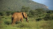 Elephant walking through the grass in Kenya Africa poster