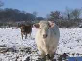 Cows In A Field Of Snow - Rural France Europe poster