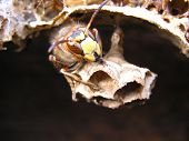 large insect. Houses near-by an apiary for example in the beehives of disappearing a bee families. Does damage destroying melliferous bees. Nests are built from wood. ** Note: Slight blurriness, best at smaller sizes poster