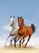 two white and bay stallions in a dust poster