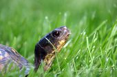 A close-up of a turtle walking through a field of green grass. poster