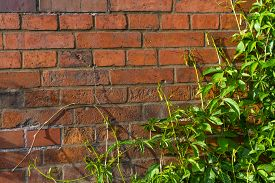 Background.    Natural Lush Green Ivy Groving On A Red Brick Wall