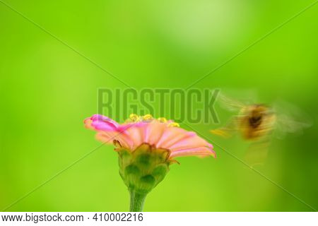 Bee And Flower. A Blurry Bee In Motion Flies At A Flower, Copy Space. Summer And Spring Backgrounds.