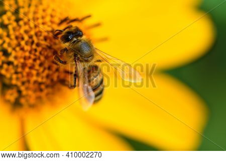 Bee And Flower. Close Up Of A Striped Bee Collecting Pollen On A Yellow Flower On A Sunny Bright Day