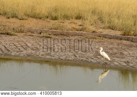 Intermediate Egret Or Median Egret Or Yellow Billed Egret Is A Medium Sized Heron With Reflection In
