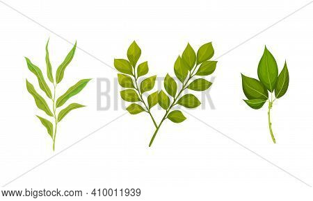 Green Leafy Branches And Foliage With Stem And Veins Or Fibers Vector Set