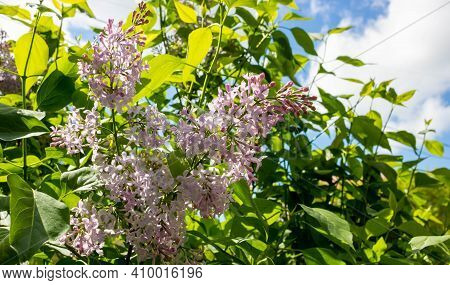 Blooming Lilac Against The Sky. Beautiful Purple Lilac Flowers Outdoors. Lilac Flowers On The Branch