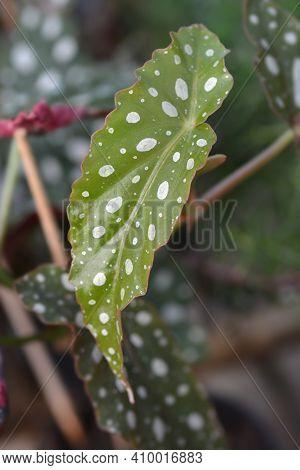 Polka Dot Begonia Leaves - Latin Name - Begonia Maculata