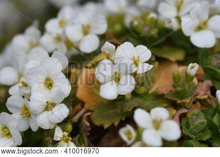 Mountain Rock Cress Schneehaube - Latin Name - Arabis Alpina Subsp. Caucasica Schneehaube (arabis Al