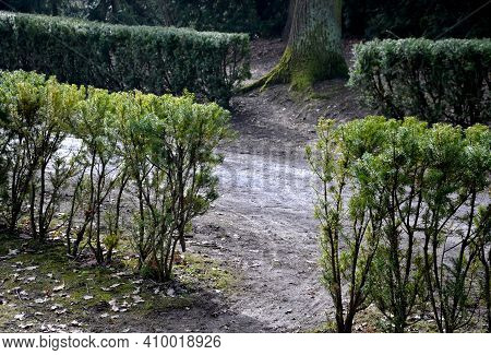 Evergreen Conifer Suitable For Low And High Hedges. It Also Tolerates Shade, Regenerates Well From O