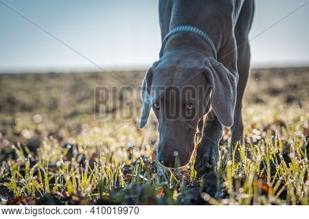 Weimaraner Pointing Dog Sniffing In The Green Grass With Head Down