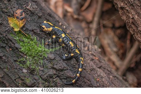 Salamander Sits On The Trunk Of An Old Tree
