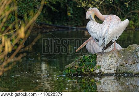 Lyon, France, February 24, 2021 : Pelicans In The Morning Light Of Their Pond, Parc De La Tete D'or,