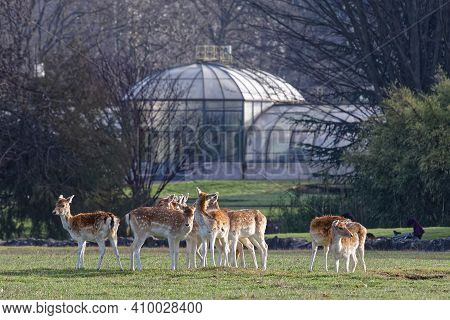 Lyon, France, February 24, 2021 : A Herd Of Deer On The Meadows Of Parc De La Tete D'or. The Park Is