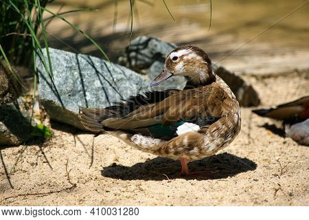 Full Body Of Female Ringed Teal Duck. Photography Of Nature And Wildlife.