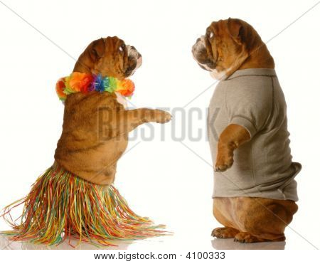 one english bulldog dressed up performing the hula dance while another one watches poster