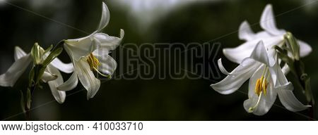 White Lily In All Its Glory.white, Delicate Flower With A Pungent Odor.lily, Close-up.white Lily In