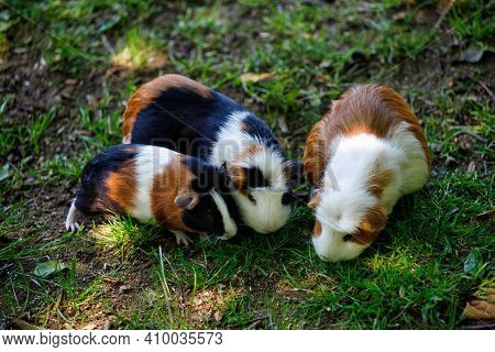 Family Of Domestic Guinea Pig (cavia Porcellus) Cavy. Photography Of Nature And Wildlife.