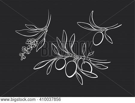 Olive Contour Set Of Branch, Sprout, Ripe Fruits, Flowers. Vector Art Sketch Monochrome Illustration