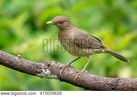 Thrush Perched Peacefully On A Tree Branch
