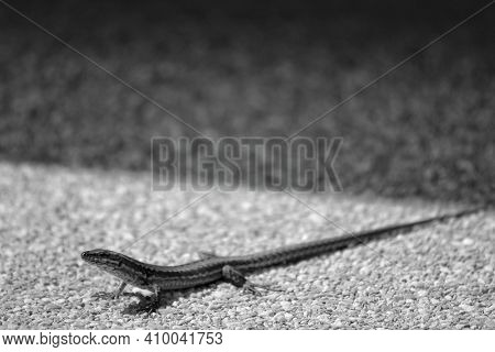 A Small Lizard On The Ground On A Summer's Day In Black And White