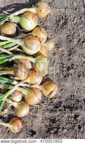 Onion Harvest On The Field. Ripe Onion. A Row Of Freshly Cultivated Organically Grown Onions On Vege