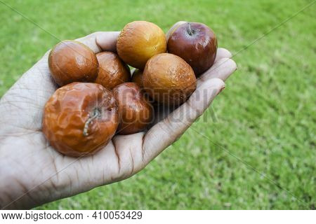Female Holding Indian Jujube Or Ber Or Berry Also Known As Ziziphus Maritiana Fully Ripen Fruit Oran
