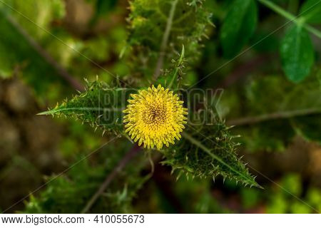 Sow Thistle Or Rough Milk Thistle Most Often Refers To Yellow-flowered, Thistle-like Plants In The G