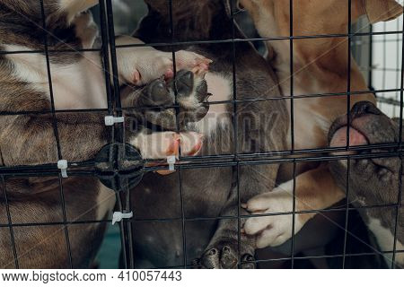 Pitbull Puppies Inside A Cage In A Shelter.