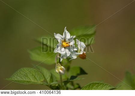 Beautiful White Flowers Of Potato (solanum Tuberosum)