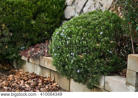 Trimmed Rosemary Bush Blooms In Winter Over Fallen Leaves In The Park