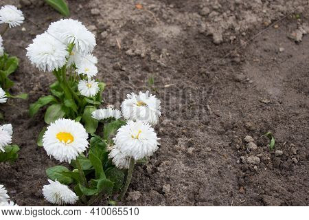 Bellis Perennis. Daisy, White Flowers In The Garden On The Flower Bed
