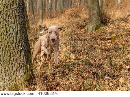 Weimaraner In The Oak Forest. Autumn Hunting With A Dog. Hunting Dog In The Woods.