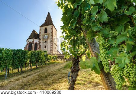 Green Summer Bunches Of Grapes Near The Medieval Church Of Saint-jacques-le-major In Hunawihr, Villa