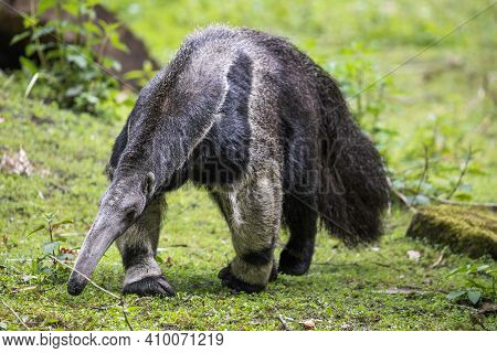 Giant Anteater Walking On The Green Grass. Furry Ant Bear (myrmecophaga Tridactyla) Is Large Insecti