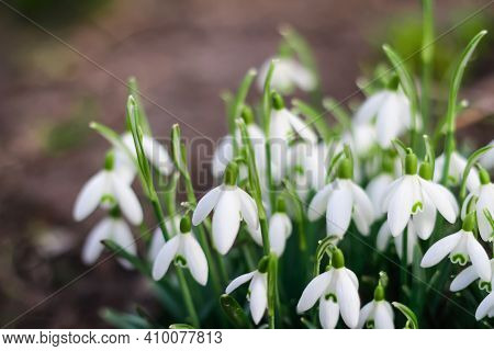 Spring Flowers. Snowdrop Spring Flowers In A Clearing In The Forest. Snowdrop, Symbol Of Spring. Gal
