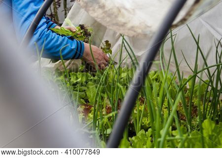 Female Hands In A Greenhouse Hold A Salad And Harvest Greens. Home Greenhouse. Blurred Gray Foregrou
