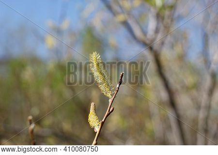 Blooming Yellow Staminate Catkin Inflorescences Of Arroyo Willow, Salix Lasiolepis, Salicaceae, Nati