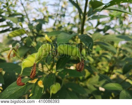 Cajanus Canja L Millsp, Common Name Pigeonpea Belonging To The Leguminosae Family Or Kadios Name The