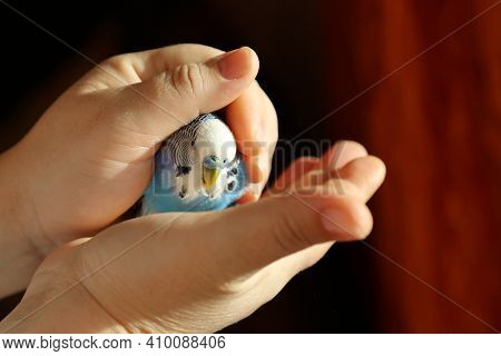 A Budgie Basks In The Sun In The Palms Of A Person. Blue Parrot In The Arms Of A Man, Illuminated By