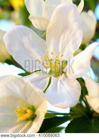 White Flowers Of An Apple Tree Close-up. Petals, Pistils, Stamens. Blooming Fruit Tree In Spring. Ve