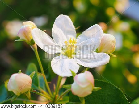 White Flowers Of An Apple Tree Close Up On A Sunny Day. Petals, Pistils, Stamens, Buds And Leaves. B