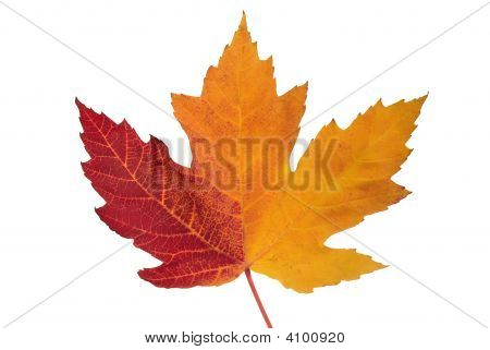 Maple Leaf On White